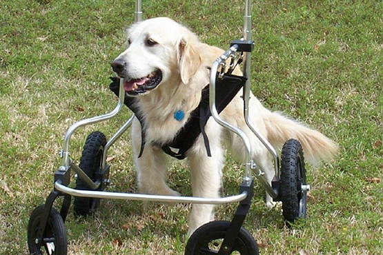 dog with a quad support wheelchair